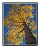 Aspen Tree in Autumn Mueller State Park, Colorado 2507