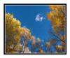 Golden Aspens in Autumn Mueller State Park, Colorado 2520