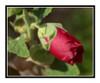 Red Hollyhock Flower Bud 2660