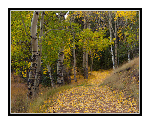 Path Through Aspen Trees  in Rocky Mueller State Park, Colorado 2014