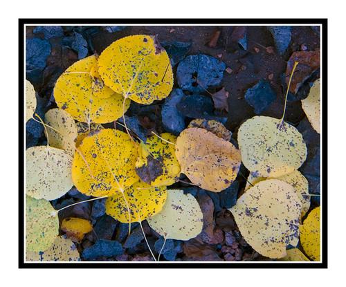 Golden Aspen Leaves, Colorado 2347