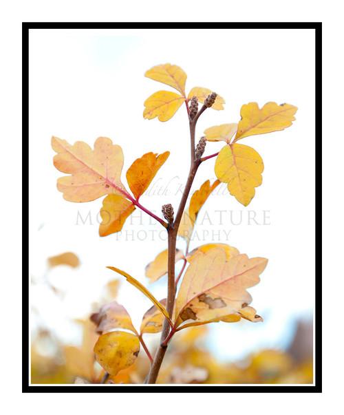Golden Scrub Oak Leaves, Colorado 2365