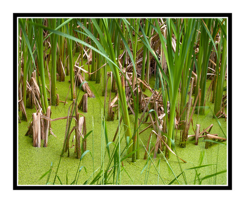 Reed Grass in Rifle Falls State Park, Colorado 2261