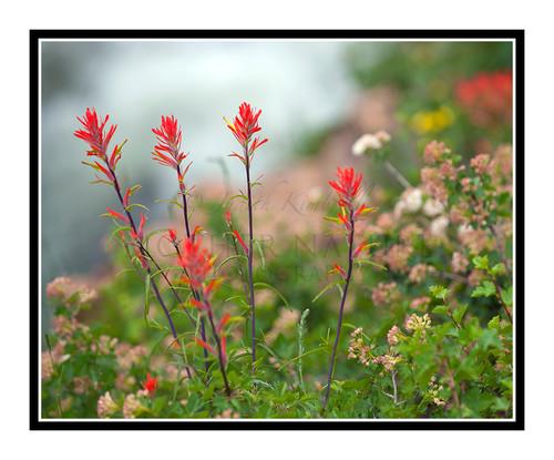 Orange Wildflower Indian Paintbrush, Colorado 1773
