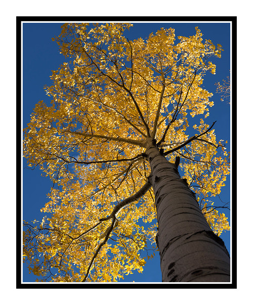 Aspen Tree in Autumn Mueller State Park, Colorado 2507