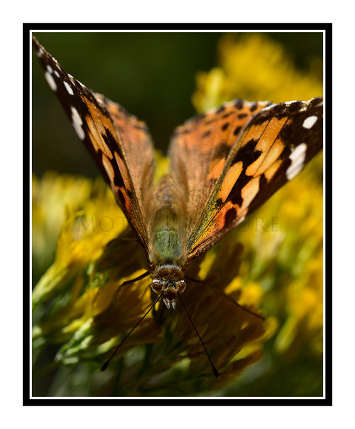 Painted Lady Butterfly on Yellow Flowers 2716