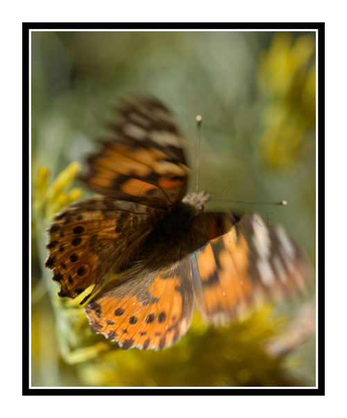Painted Lady Butterfly on Yellow Flowers 2720