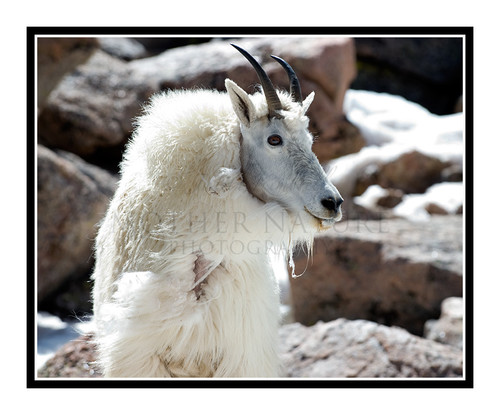 Mountain Goats at Mt. Evans, Colorado 1509