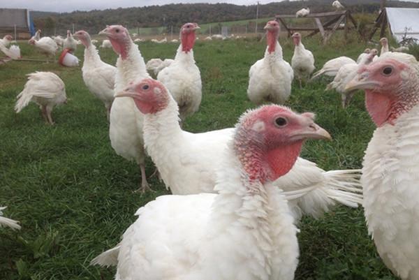 Organic Halal Whole Turkey 15lbs