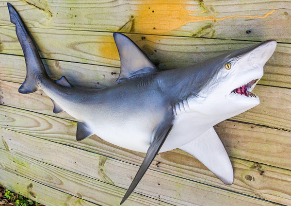 Bull shark 42 inch full mount fiberglass fish replica for Fiberglass fish replicas