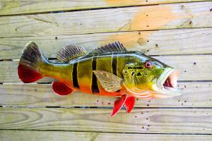 Peacock Bass fiberglass fish replica