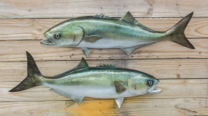Bluefish fiberglass fish replica