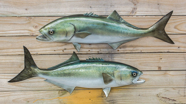 Bluefish 29 inch full mount fiberglass fish replica the for Fiberglass fish replicas