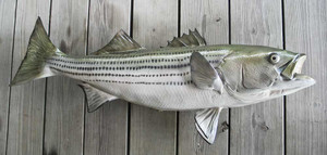 Striped Bass 41 inch full mount fiberglass fish replica - also Striper, Rockfish