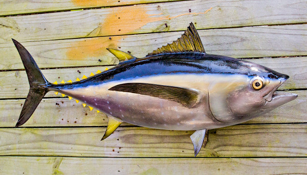 Yellowfin tuna 36 inch full mount fiberglass fish replica for Fiberglass fish replicas
