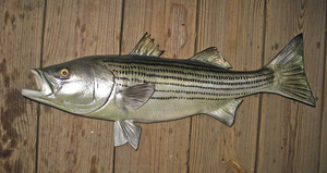 Striped Bass 27 inch full mount fiberglass fish replica - also Striper, Rockfish