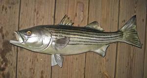 Striped Bass, Rockfish, Striper fiberglass fish replica