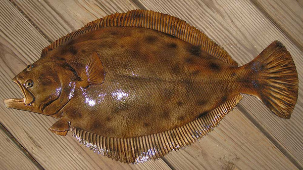Flounder 24 inch half mount fiberglass fish replica the for Picture of a flounder fish