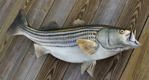 Striped Bass 38 inch full mount fiberglass fish replica - also Striper, Rockfish