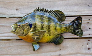 Bluegill fiberglass fish replica