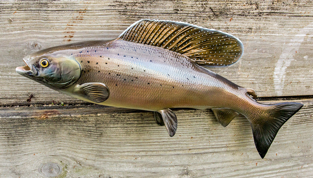 Arctic grayling 23l inch fiberglass fish mount replica for Fiberglass fish replicas