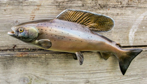 Arctic Grayling fiberglass fish replica