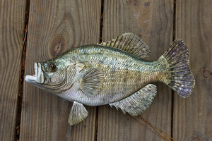 Crappie, White 15 inch Fish Mount Replica