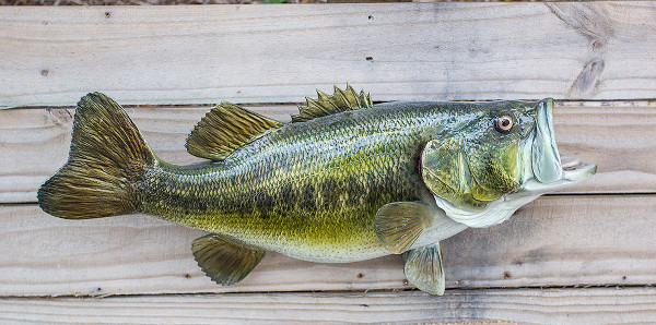 Largemouth bass 22 inch full mount fiberglass fish replica for Fiberglass fish replicas