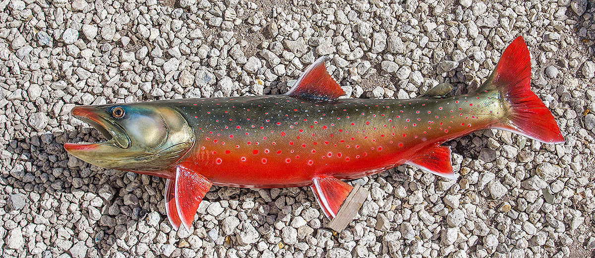 Arctic char 26l inch fiberglass fish replica the fish for Arctic char fish