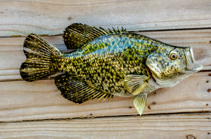Crappie, Speckled Perch, Speck fiberglass fish replica