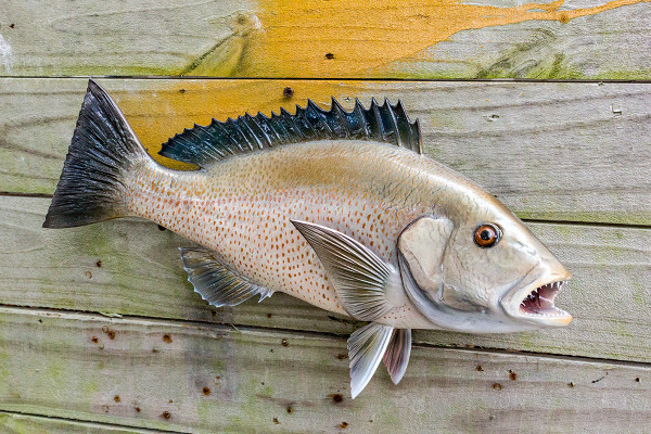 Mangrove snapper 17 inch full mount fiberglass fish for Fiberglass fish replicas