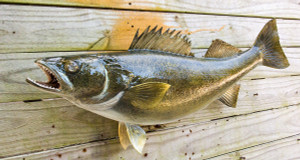 Walleye fiberglass fish replica