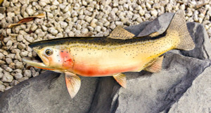 Cutthroat Trout fiberglass fish replica