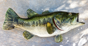 Largemouth Bass full mount fiberglass fish replica