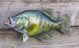 White Crappie fiberglass fish replica