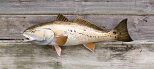 Redfish, Red Drum, Channel Bass fiberglass fish replica