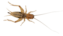 Silent Crickets (Pre Pack)