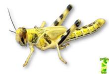 Locusts - Pre Pack