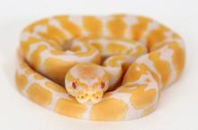 Albino Royal (Ball) Python - 2015 Female ♀ (EIR-2015-003)