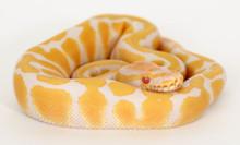 Albino Royal (Ball) Python - 2015 Female ♀ (EIR-2015-004)