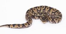 Chocolate Pastel Royal (Ball) Python Male CB2015  ♂