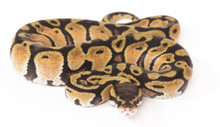 Pastel Royal (Ball) Python - Female (CB2015) ♀