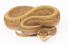 Fire Spinner Royal (Ball) Python - Female (CB2015)