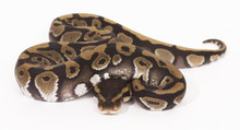 Phantom Royal (Ball) Python - Male (CB2015)