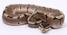 Spider Royal (Ball) Python Male CB2015 ♂