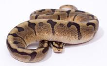 Chocolate Spider Royal (Ball) Python Female CB2015 ♀