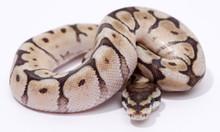 Spider Mojave Royal (Ball) Python Male CB2015 ♂