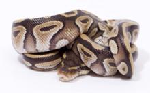Mojave Royal (Ball) Python Female CB2015