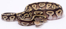 Pastave Royal (Ball) Python Male CB2015 ♀