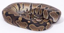 Het Albino Royal (Ball) Python - Male (CB2015) ♂